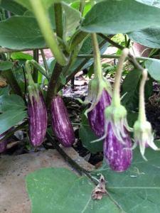 EggplantsFairyTale